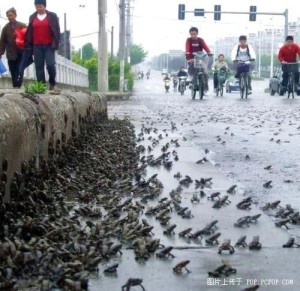 On May 9, 2008 thousands of frogs crossed the road in the region where on May 12 strong earthquake has occurred (Eastern Sichuan, China)